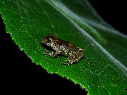 Pristimantis delicatus