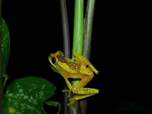 Dendropsophus ebraccatus