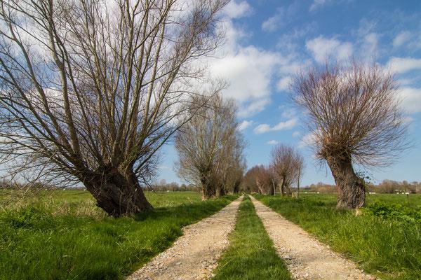 Der Weg dzurch die Sümpfe wird von alten Weiden gesäumt.