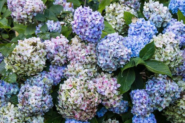 Blau und rosa blühen hier die Hortensien auch im Spätsommer noch.
