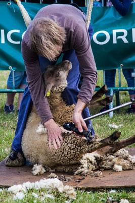 Den Schafen geht es auf dem Schafmarkt in Jobourg an die Wolle
