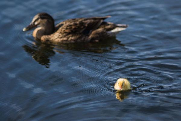 Auch Enten fühlen sich im Hafen von Carentan wohl