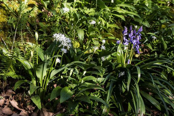 Bärlauch und Blumen begleiten den Wanderer auf seiner Tour rund um Feugères