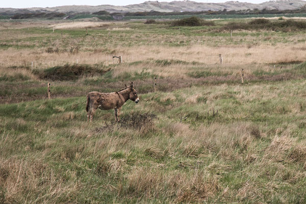 Gut getarnt: Esel im Havre von Geffosses