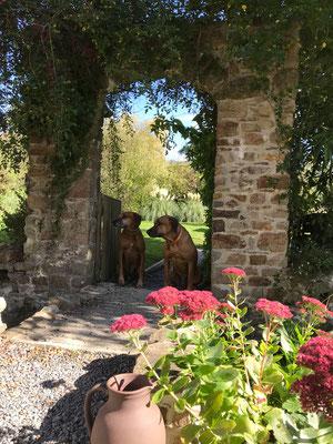 Gartenidyll mit Ridgebacks.
