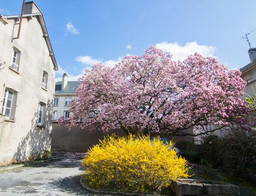 Mitten in der Innenstadt findet Ihr diesen uralten Magnolienbaum, der die Bombardierung überlebt hat.