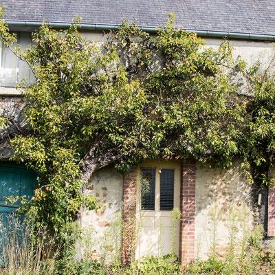 Baumspalier an einem verlassenen Haus.