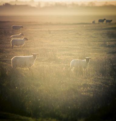 Die Schafe in den Salzwiesen von Saint-Germain-sur-Ay.