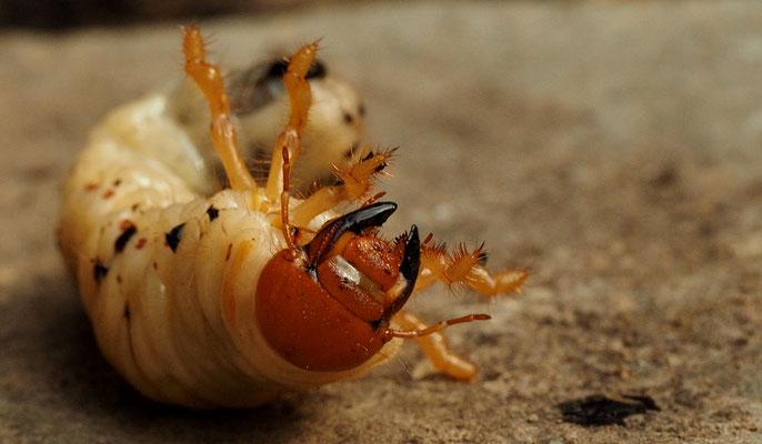Maikäferlarve