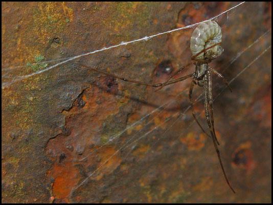 Schlupfwespenlarve auf einer Streckerspinne