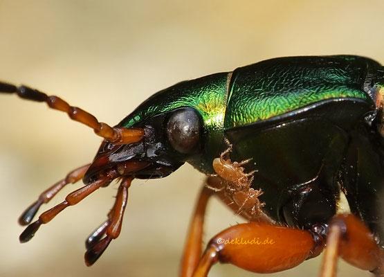 Goldlaufkäfer mit Milben, diese leben in einer Symbiose (teils schmarotzend) mit dem Käfer