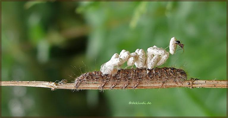 bereits geschlüpte Schlupfwespenlarven/die Kokons sind leer, die Raupe tot