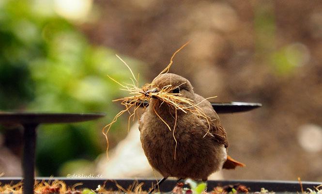 Hausrotschwanzweibchen beim sammeln von Nistmaterial