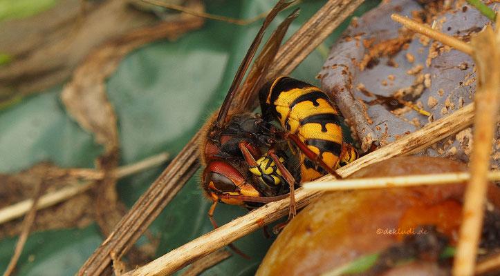 Hornisse beim verspeisen einer Wespe