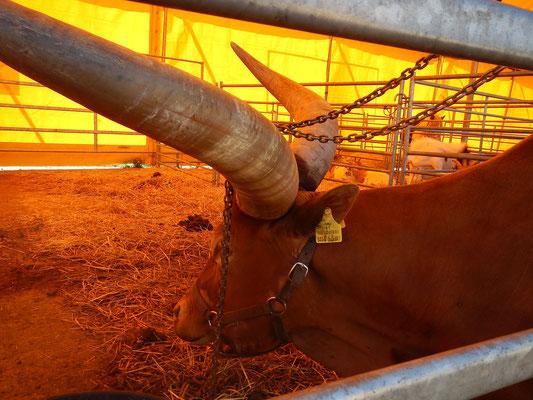 Bufle attaché par les cornes dans un cirque de passage à Chambéry