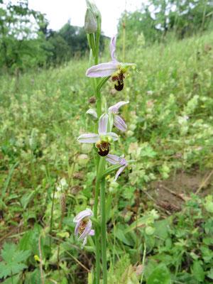 Bienen-Ragwurz. Foto: Hannelore Hellwig