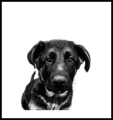 bayb dog premium poster - hund - schäferhund - tier - wandbild