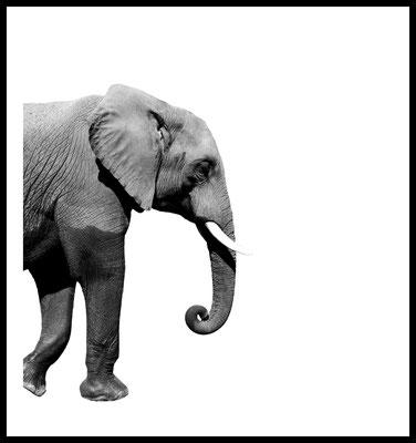 elefant premium poster - tier - safari - zoo - wandbild - fotografie