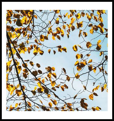 yellow tree premium poster - herbst - baum - jahreszeiten - fotografie - gelb - natur fotografie