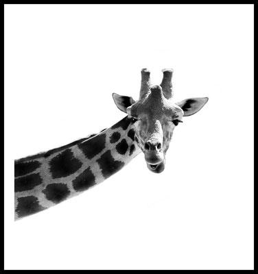 griaffe premium poster - tier - tierisch - safari - wandbild - forgrafie