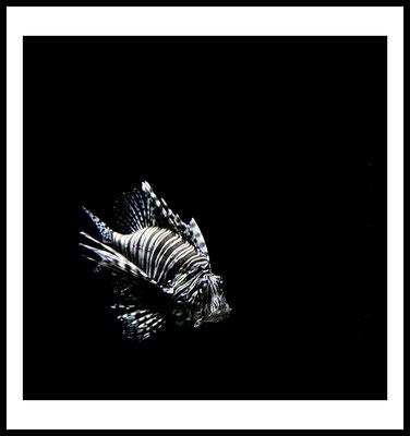 feuerfisch premium poster - fisch - tier motiv - wasser - schwarz - wandbild