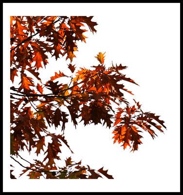 herbst rot premium poster - autumn - jahreszeiten - natur motiv - rot - fotografie - baum