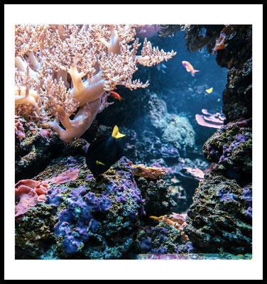 big black fish premium poster - fisch motiv - unterwasser pflanzen - wandbild - korallen
