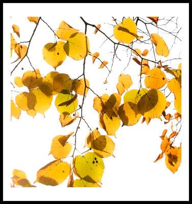 yellow autumn premium poster - herbst - gelb - natur motiv - jahreszeiten - fotografie