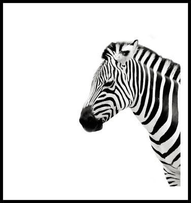 zebra premium poster - tier - safari - berlin - zoo - wandbild