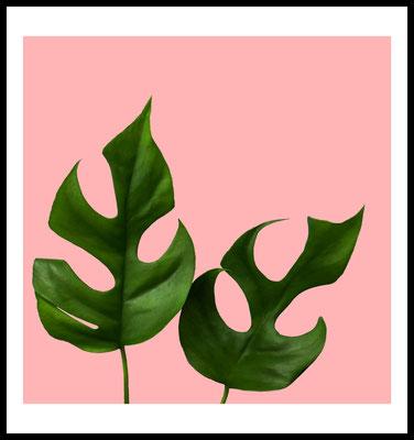 Philodendron premium poster - pflanze - rosa - plants - wandbild -fotografie