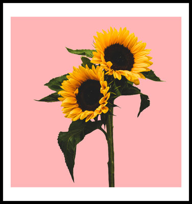 sonnenblume premium poster - natur motiv - rosa - blumen - wanddekoration