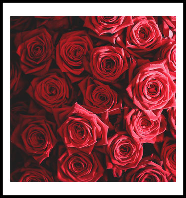 rote rosen premium poster - natur motiv - rot - blumen - wandbild