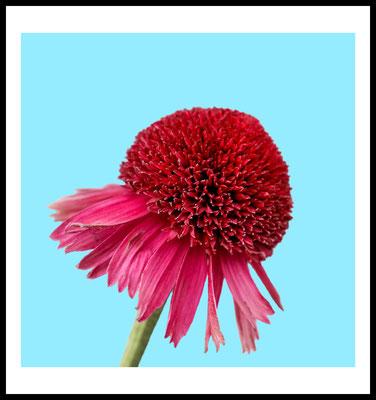 rosa blüte premium poster - natur motiv - blau - blume - foto