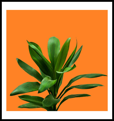 dracaena premium poster - planze - natur motiv - orange - wandbild