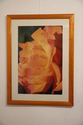 Rose fängt Sonnenschein 40x60