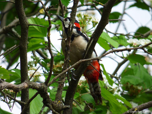 Picchio rosso maggiore (maschio)