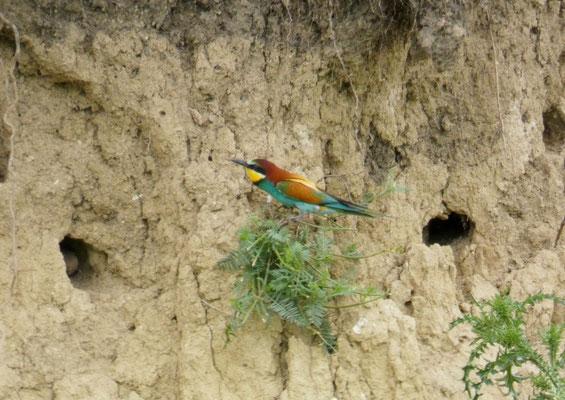 I nidi dei gruccioni