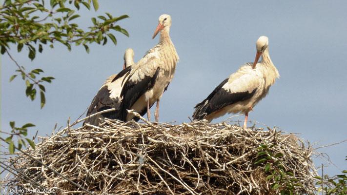 Cicogne sul nido