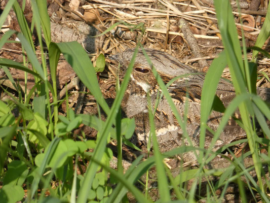 Succiacapre sul nido