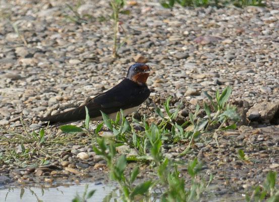 Rondine  a terra che cerca fango per la costruzione del nido