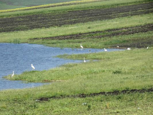Aironi sulle rive del lago di Havirna