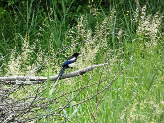 La gazza è un corvide molto diffuso e ubiquitario