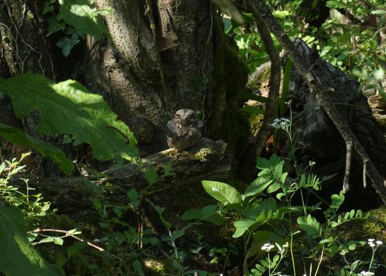 Succiacapre nei pressi del nido