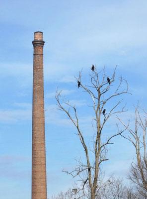 Cormorani e ciminiera della fabbrica di Crespi (BG)