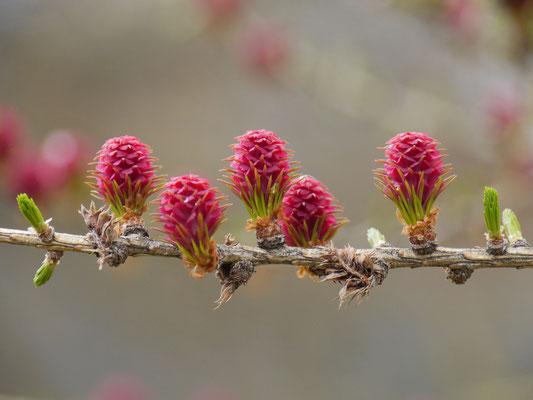 lärchenblüte