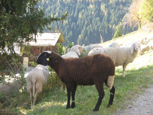 Pecora nera:), Abete Rosso, Val di Rabbi, Foto: A. Cicolini