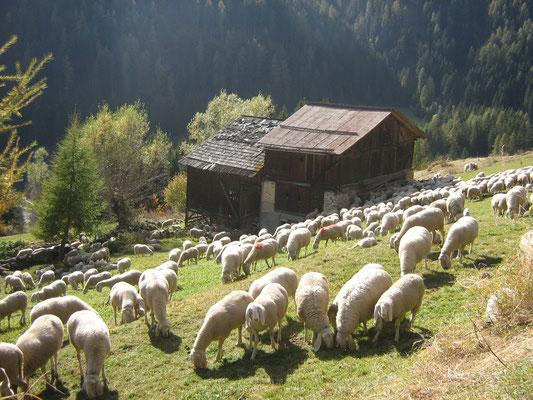 Pecore al rientro dall'alpeggio, Abete Rosso, Val di Rabbi, Foto: A. Cicolini