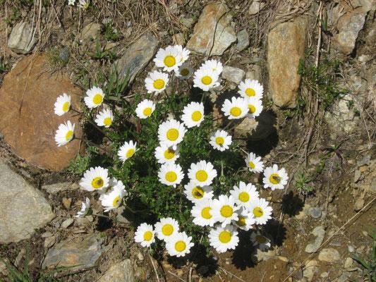 Flora, Abete Rosso, Val di Rabbi, Foto: M. Corradini