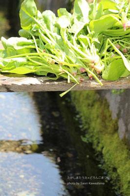 綺麗な水だから菜畑から採ったホウレンソウもその場で土を落とせる