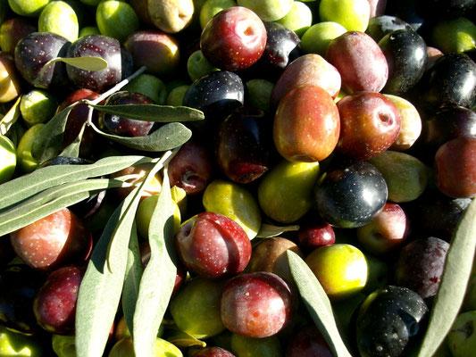Geerntete Amfissa Oliven in unterschiedlichen Reifezuständen